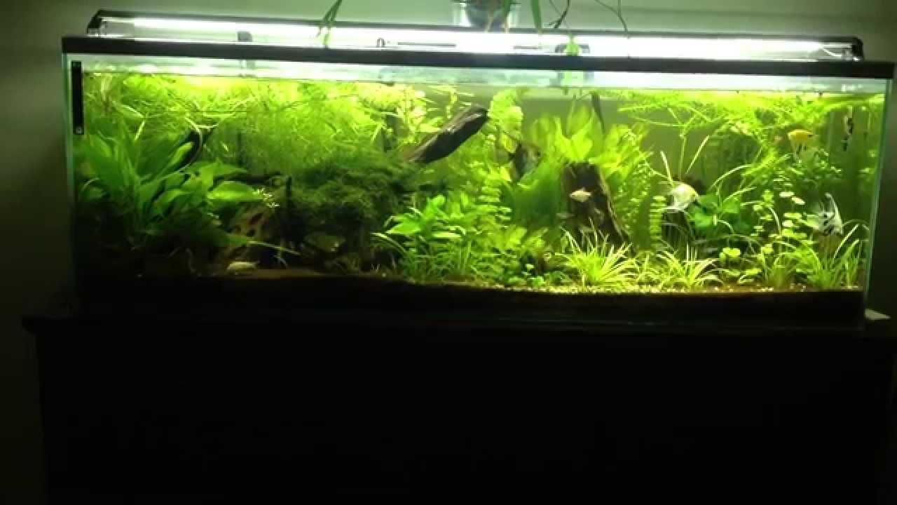 Aquarium plant communautaire type amazonien aquascaping tank 300 litres  YouTube
