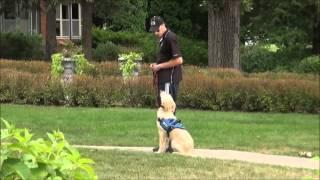 Sunny (golden Retriever) Boot Camp Dog Training Demonstration