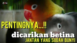 Download lagu LOVEBIRD JANTAN SUDAH BUNYI DIPASANGKAN BUKAN KE KONSLET!!!