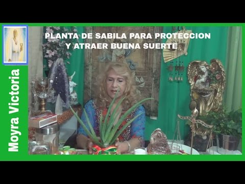 PLANTA DE SABILA PARA PROTECCION Y ATRAER BUENA SUERTE