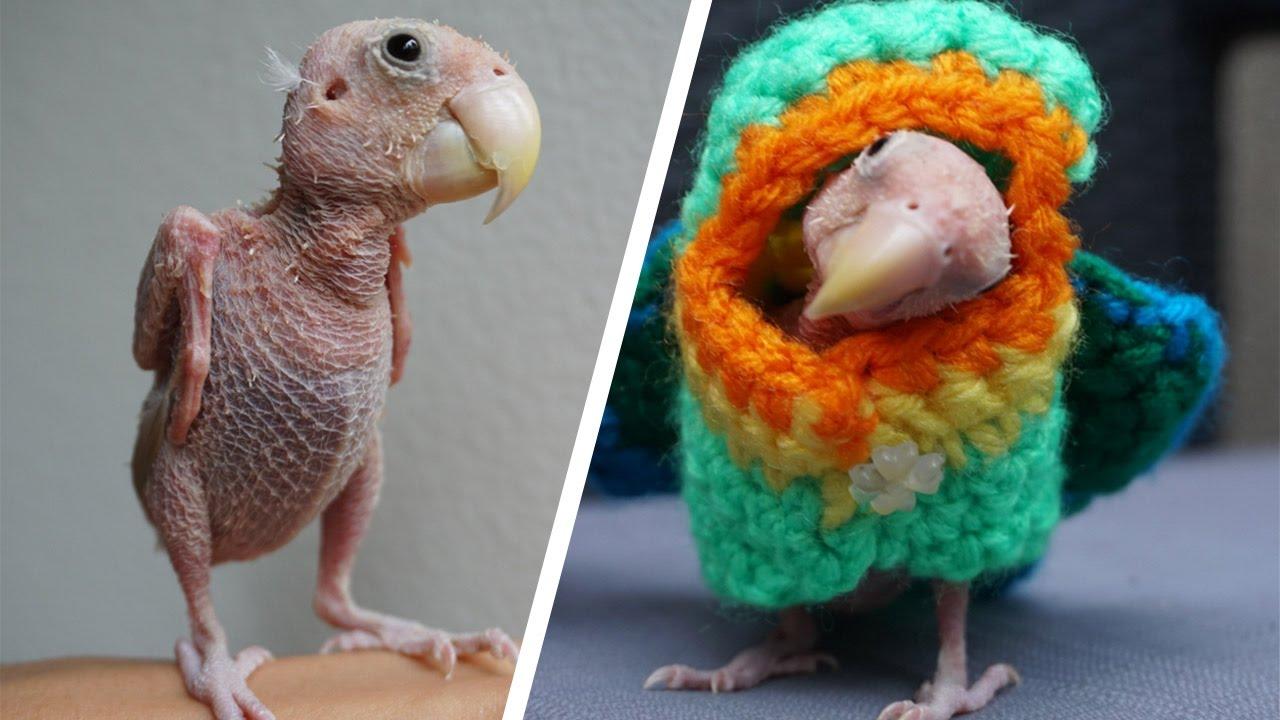 be1184e78ebbe5 Adorable Naked Bird Becomes Internet Sensation - YouTube