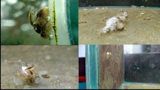 Гаммарус разведение (живой корм для рыб)/Gommarus breeding (live food for fish)