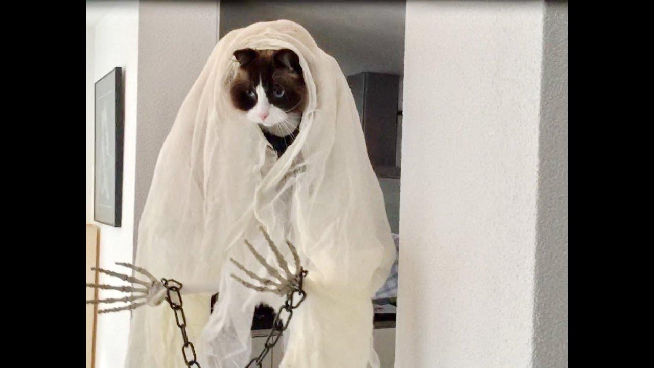 & Halloween Cat (Timo the Ragdoll Cat) - YouTube