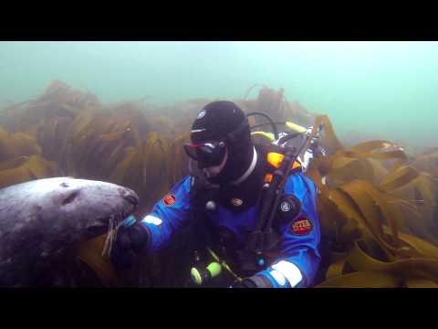 Huge Grey Seal