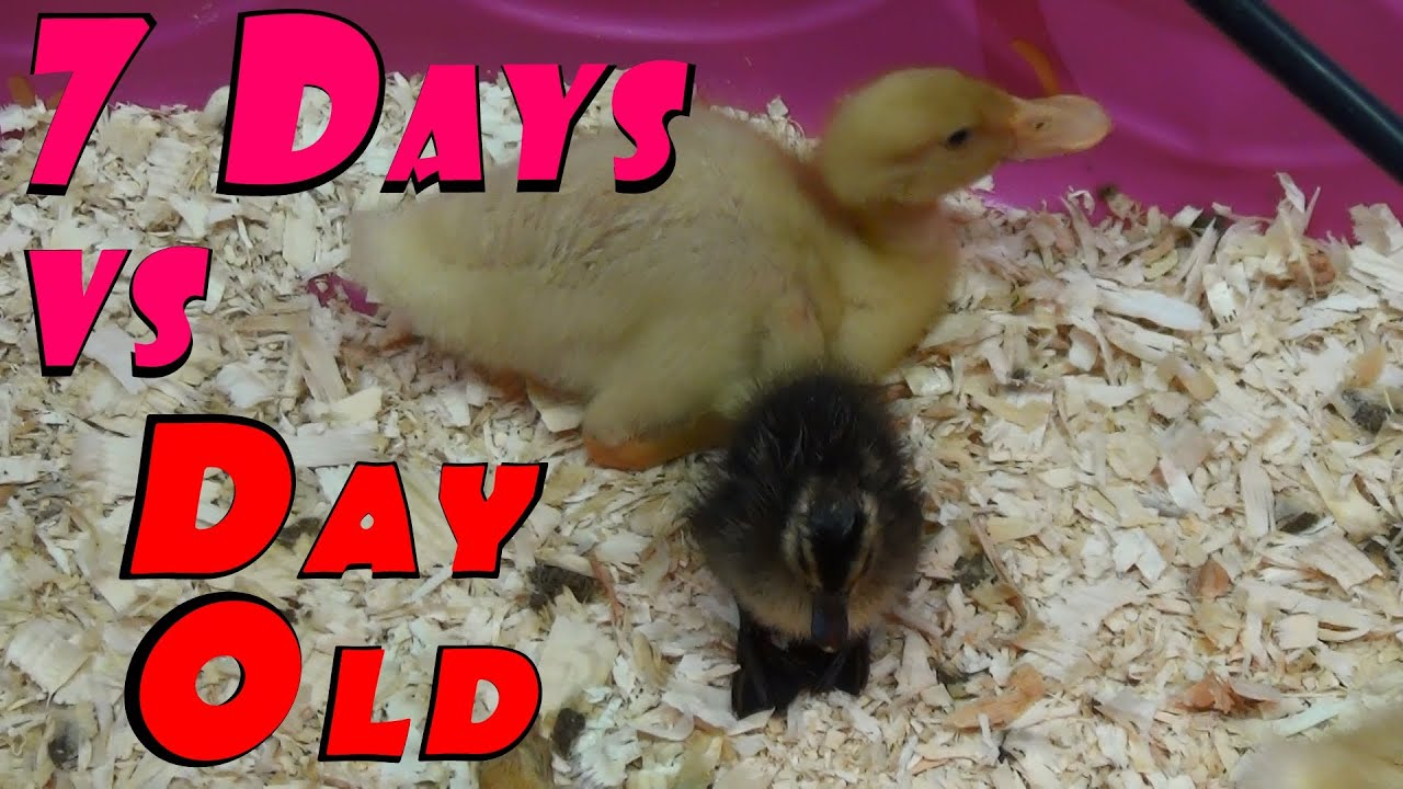 ducklings 7 days of growth explosion u0026 hatcher final rescue 34
