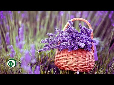 131 Лаванда – царица ароматических трав