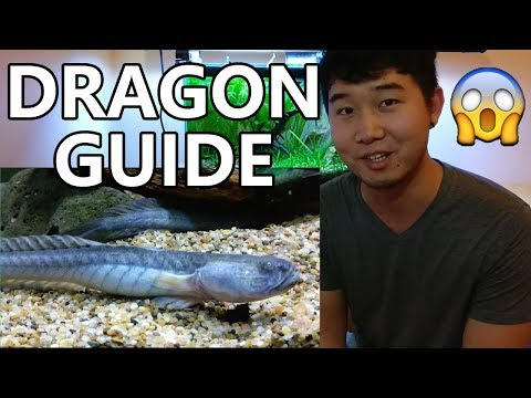 Dragon Goby | Beginner Guide