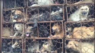 Activists Rescue Nearly 1,000 Dogs and cats from Slaughterhouse Trucks in Guangzhou