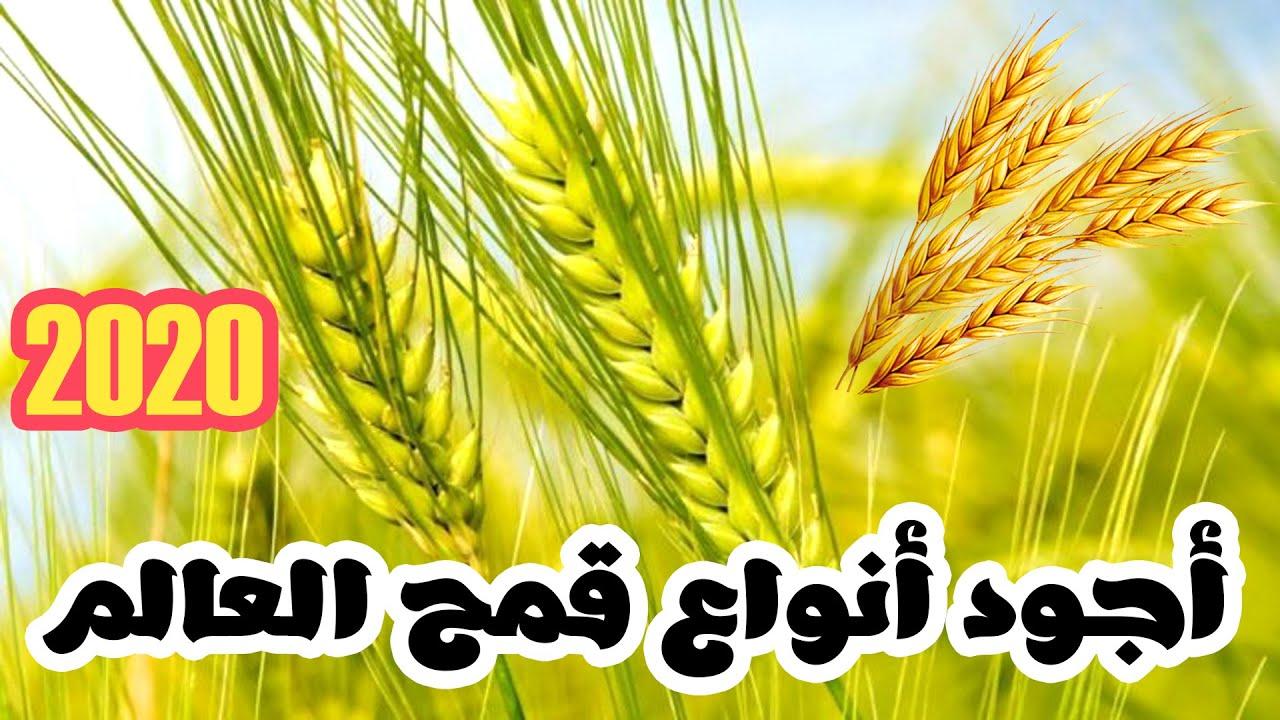 أجود أنواع القمح في العالم 2020 Les Meilleurs Types De Ble Au Monde Youtube
