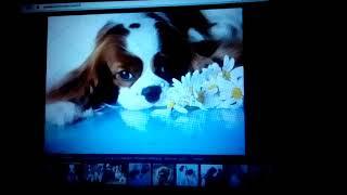 Кавалер-кинг-чарльз-спаниель. Собаки. Фото. Моя будущая собака.