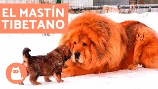 El perro mastín tibetano o dogo del Tibet