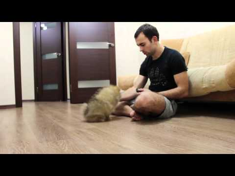 Померанский шпиц - 3 месяца (Pomeranian Dog - 3 Month)