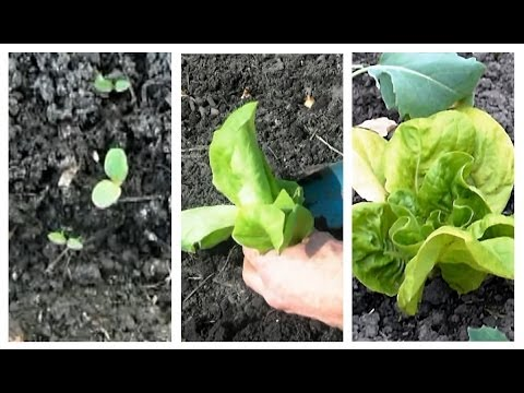 Gartentipp Februar 0209 Kopfsalat Jungpflanzen Im Unbeheizten