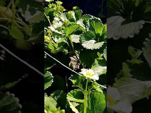 26 августа 2020 г.клубника, сибирь,сорт сладкая анна