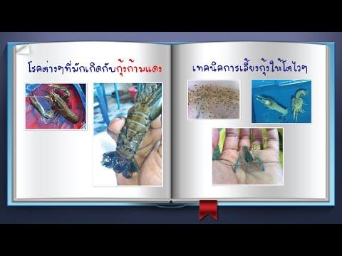 กุ้งก้ามแดง EP 2 โรคต่างๆที่มักเกิดกับกุ้ง และเทคนิคการเลี้ยงในแต่ละไซด์