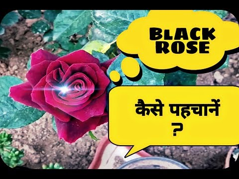 कैसे पहचाने  Black rose / Black baccara को ? How to identify black rose?