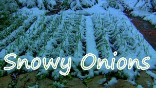 """Snowy Onions"" from planting to one month later..."