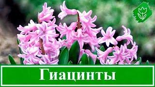 Цветы гиацинты – посадка, уход, выращивание и хранение; гиацинты после цветения(, 2016-02-29T16:06:28.000Z)