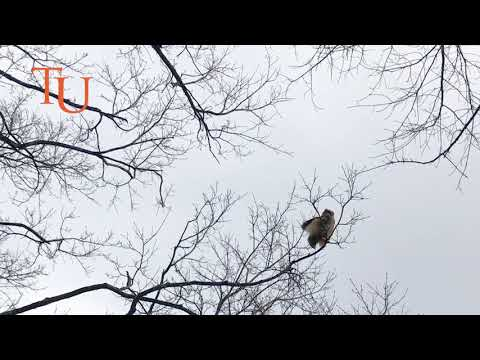 Great Horned Owls on Tusculum University Campus