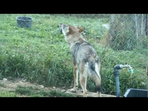 Last howl - Poslední vytí
