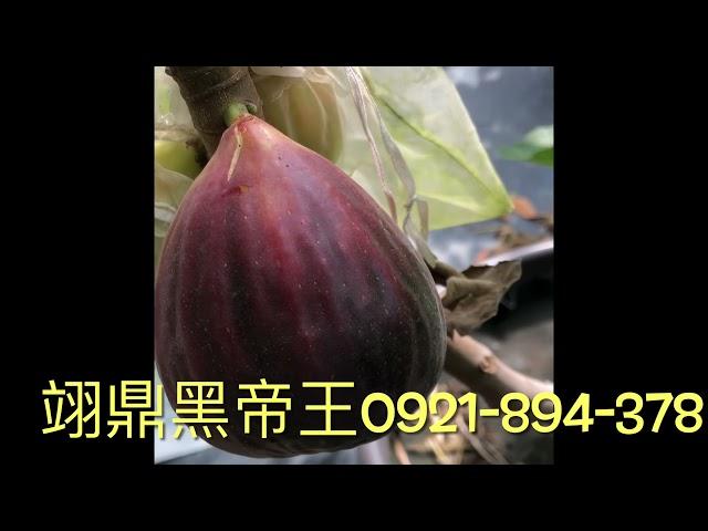 無花果 翊鼎黑帝王0921-894-378