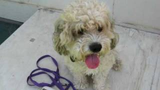 Adopted - Cute Rescued Poodle Terrier Mix Noodle Looking For Home