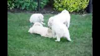 Eskipoo Puppies For Sale
