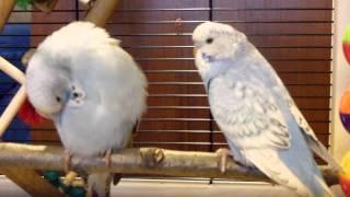 """Волнистый попугай. Пара.Порода """"ЧЕХ"""""""