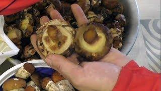 Набрал грибы Свинушки (Дуньки) Съедобные или нет?