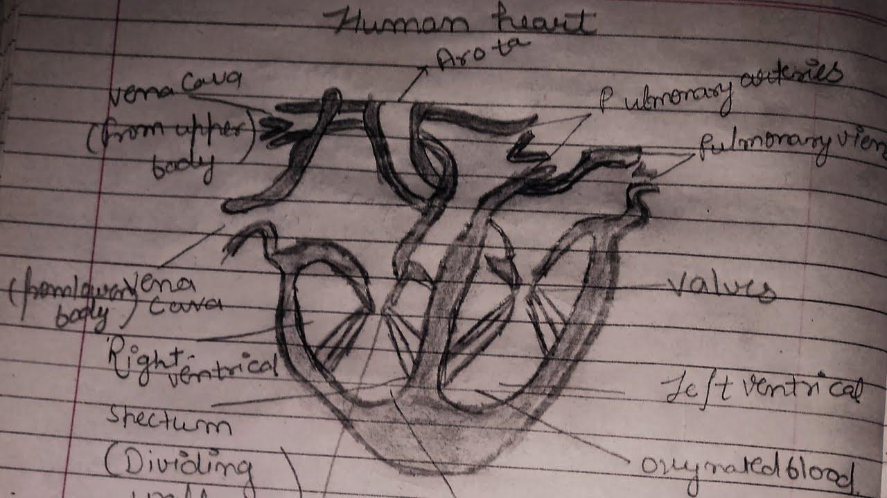 मानव हृदय का नामांकित चित्र कैसे बनाए   How to draw human ...