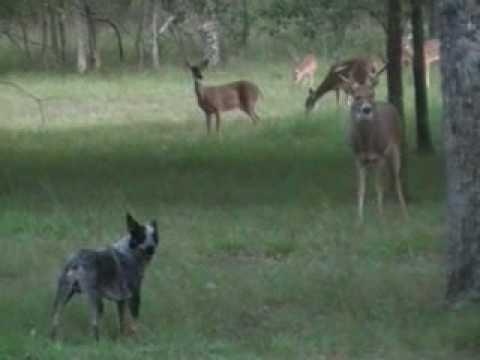Cowboy (Heeler) vs Whitetail Buck