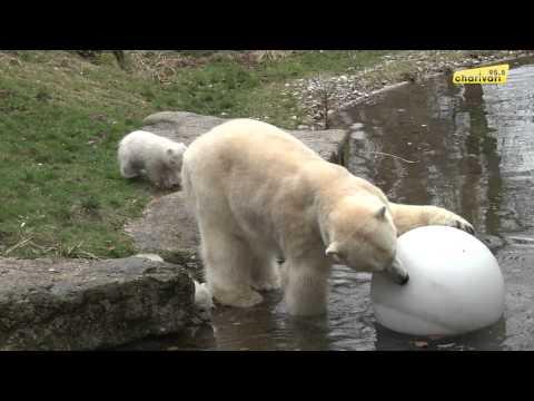 Eisbärenzwillinge im Tierpark Hellabrunn München