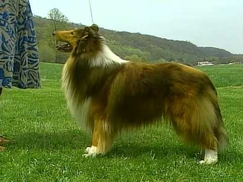 Collie - AKC Dog Breed Series