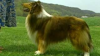 Collie  AKC Dog Breed Series