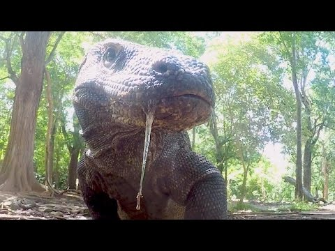 What Makes Komodo Dragons Apex Predators