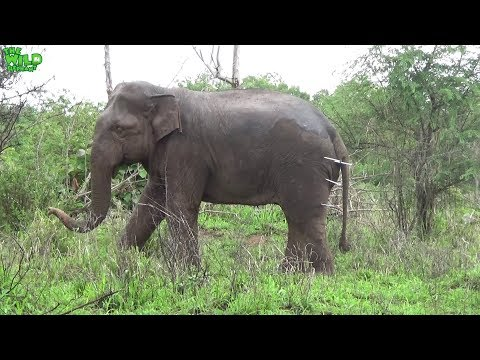 An elephant receives medical treatments with a Tranquillizer gun