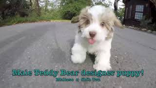 """Louie"" male Havanese puppy available near San Francisco, CA."