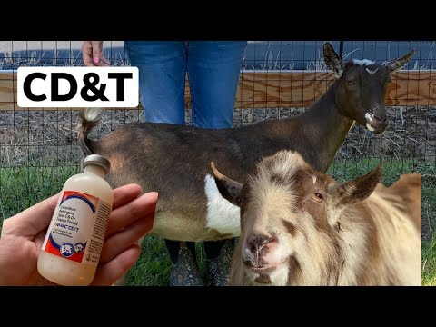 CD&T Vaccine for our Pregnant Goat and our Bucks and Wether