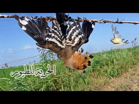 صيد الطيور ومازل صيد الهدهد مستمرا Youtube