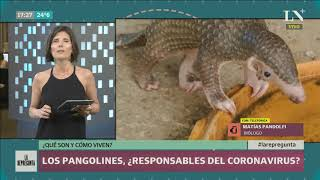 Los pangolines: ¿responsables del coronavirus? ¿Qué son y cómo viven?