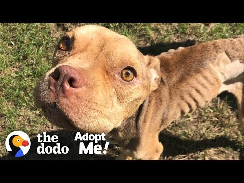 Let's Find This Once Malnourished Pittie the Perfect Family! | The Dodo Adopt Me!