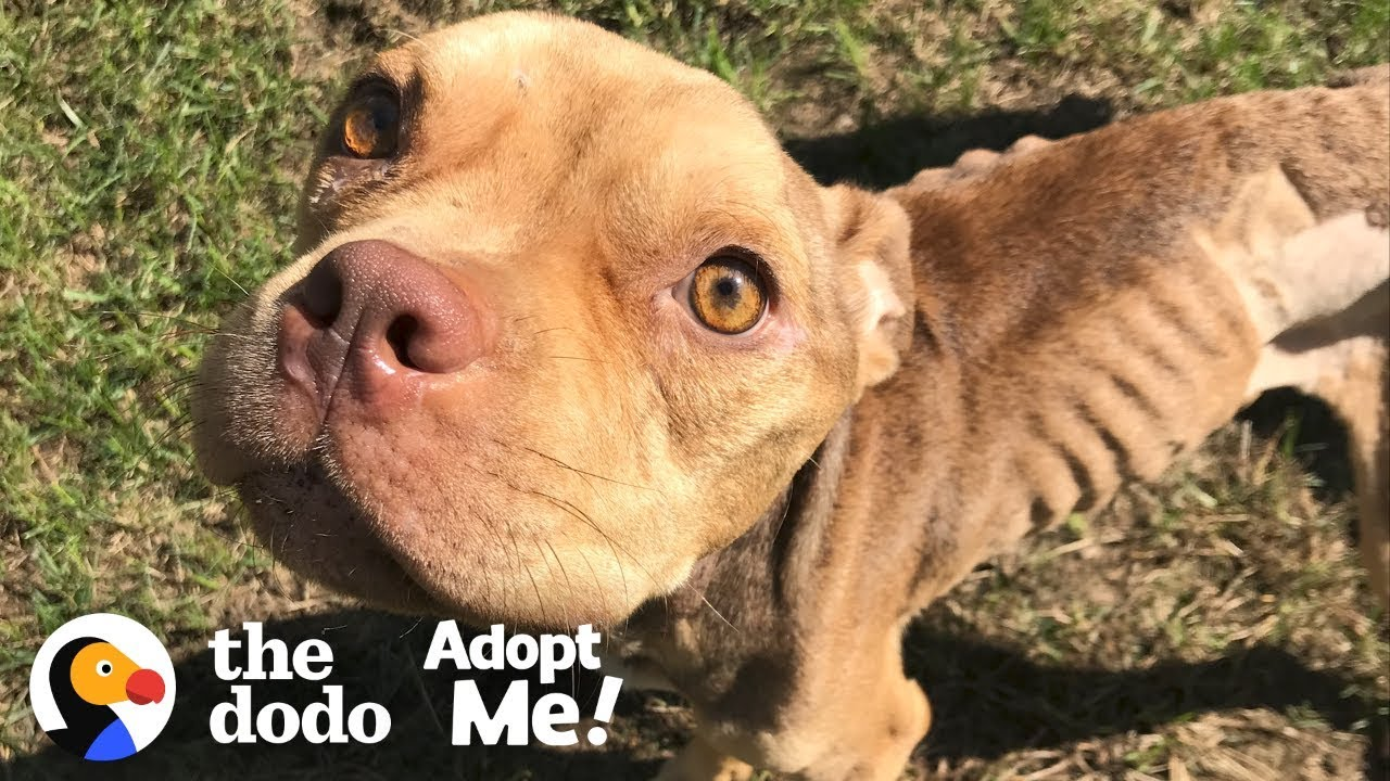 Watch this Skeletal Pittie Double His Body Weight! | The Dodo Adopt Me!