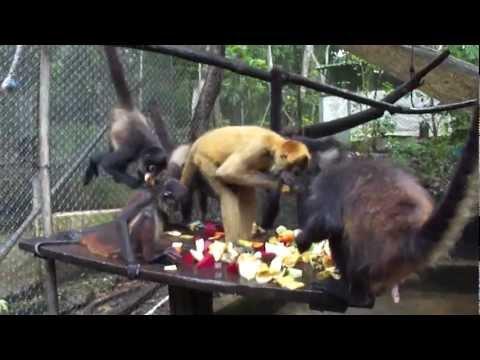 Feeding the Spider Monkeys @ ARCAS