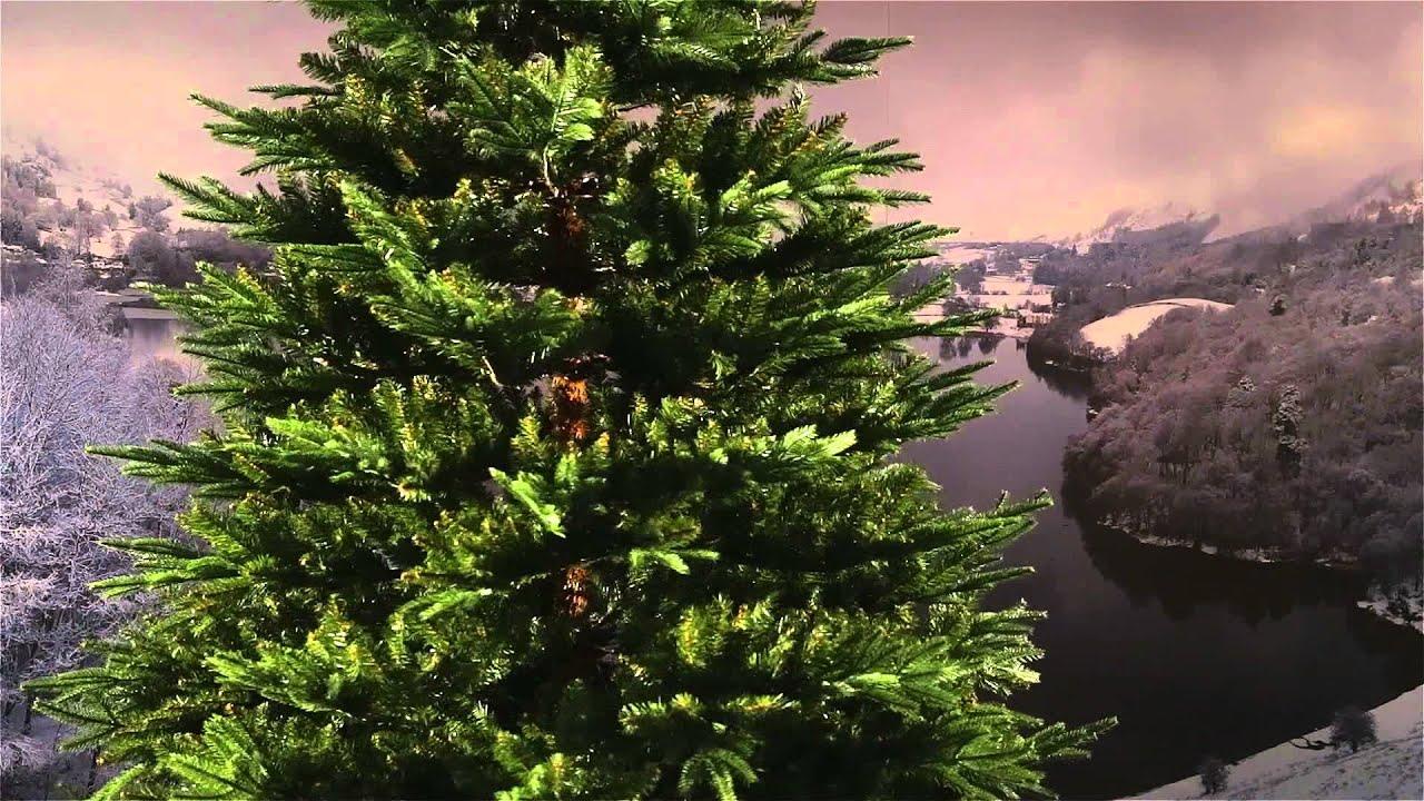 Frasier Fir Christmas Tree.National Tree Fraser Fir Deluxe 7 Ft