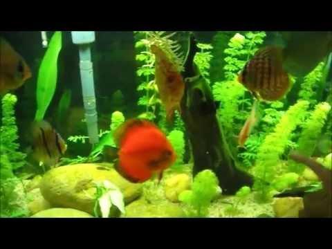 Grupo Aquaristas de Niterói - Episódio VII: Vermifugando os Discos Por : Alexandre Grego