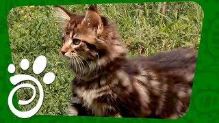 Кардиомиопатия У Кошек. Все О Домашних Животных