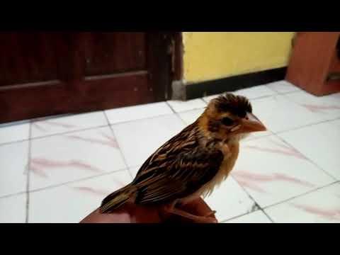 Ciri-ciri  burung manyar jantan asli