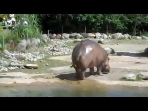 Hippo fart sounds like a Chain saw (TRY NOT TO LAUGH)