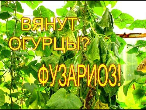 Вопрос: Причины, почему летом 2020 вянут листья на огурцах?