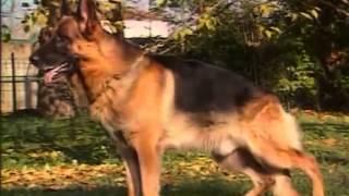 Собаки от А до Я   Немецкая овчарка Фильм от VEGAS в 1996 0011